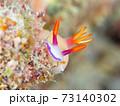 こっちを覗く奄美大島のゾウゲイロウミウシ その② 73140302