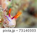 こっちを覗く奄美大島のゾウゲイロウミウシ その③ 73140303