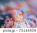 メルヘン♪♪♪ 奄美大島のキイボキヌハダウミウシ その① 73144939