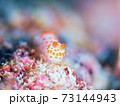 メルヘン♪♪♪ 奄美大島のキイボキヌハダウミウシ その② 73144943