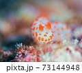 メルヘン♪♪♪ 奄美大島のキイボキヌハダウミウシ その④ 73144948