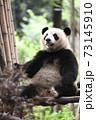 テラスでくつろぐ青年パンダ 73145910