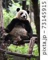テラスでくつろぐ青年パンダ 73145915
