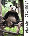 テラスでくつろぐ青年パンダ 73145917