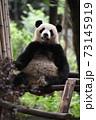 テラスでくつろぐ青年パンダ 73145919