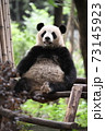 テラスでくつろぐ青年パンダ 73145923