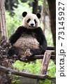 テラスでくつろぐ青年パンダ 73145927