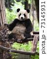 テラスでくつろぐ青年パンダ 73145931