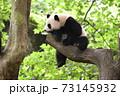 青年パンダ 73145932