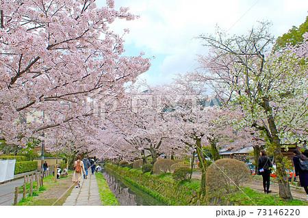 【京都】春の哲学の道 満開の桜と観光客 73146220
