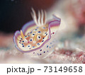 スカートヒラヒラ♪♪♪ 奄美大島のオトヒメウミウシ その① 73149658