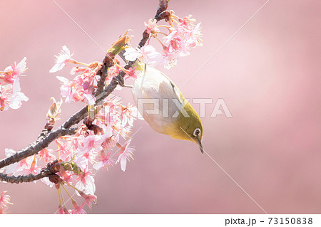 河津桜とメジロ 73150838