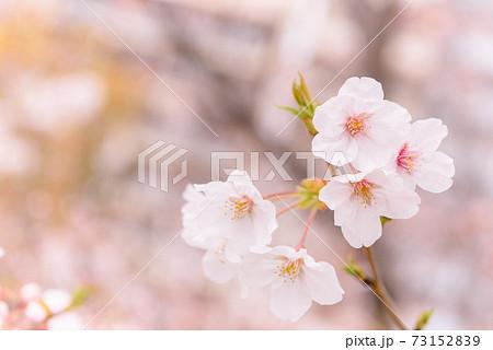 隅田公園に咲く満開の桜クローズアップ 73152839