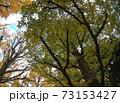 神宮銀杏並木 銀杏の木 73153427