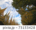 神宮銀杏並木 銀杏の木 73153428