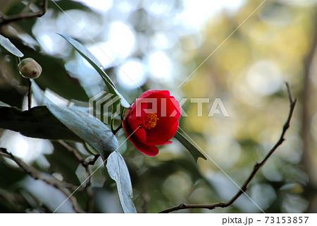山道に咲く赤いヤブツバキ 岡山県倉敷市真備町 73153857