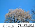 青空を背景に咲くヤマザクラの木 岡山県小田郡矢掛町 73153858