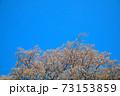 青空に咲くヤマザクラ 岡山県小田郡矢掛町 73153859