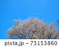 青空を衝いて咲くヤマザクラ 岡山県小田郡矢掛町 73153860