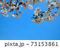 水害復興を祈って青空に咲くまきびさくら公園の桜の花 岡山県倉敷市真備町 73153861