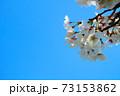青空に咲くまきびさくら公園の桜の花 岡山県倉敷市真備町 73153862