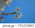 青空とまきびさくら公園の桜の花 岡山県倉敷市真備町 73153863