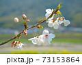 水害復興を祈って咲くまきびさくら公園のソメイヨシノの花 岡山県倉敷市真備町 73153864