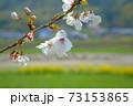 まきびさくら公園に咲くソメイヨシノの花 岡山県倉敷市真備町 73153865