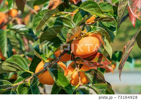もうすぐ収穫 樹上の柿 73164928