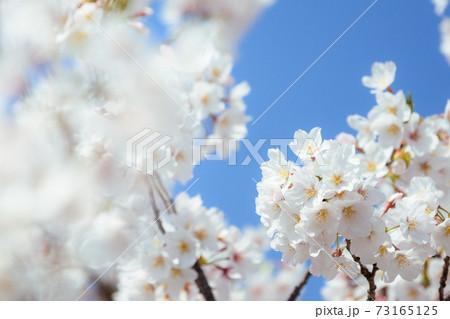 快晴の空と満開の桜(東京・石神井川沿い) 73165125