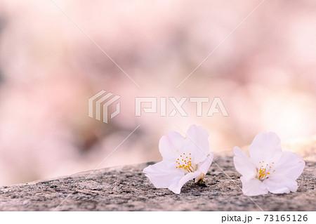 桜の花びらクローズアップ(東京・石神井川沿い) 73165126