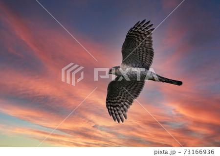 夕焼けバックに悠然と飛ぶハイタカ成鳥メス 73166936