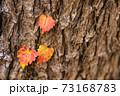 木の幹に紅葉したツタ3葉 73168783