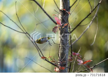 落葉した木枝から飛び立つ冬のメジロ 73171618