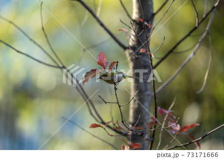 落葉した木枝に留まってエサを探す冬のメジロ 73171666