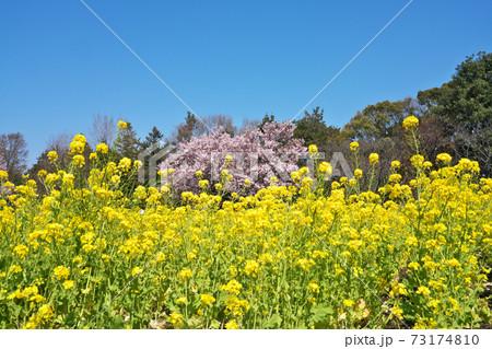 満開の菜の花畑と桜 春の公園イメージ 73174810