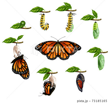 Life Cycle Of Butterfly Realistic Set 73185165