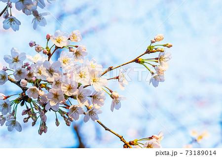 春の靖国神社・満開の桜 73189014