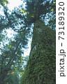 苔に覆われた杉の木 73189320