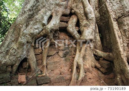 カンボジアアンコール遺跡のガジュマル 73190189