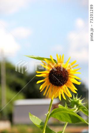 晴天の下で咲く風に吹かれた向日葵 73201289