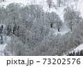 雪国の冬、里山には白いブナ林 福島県只見町 73202576