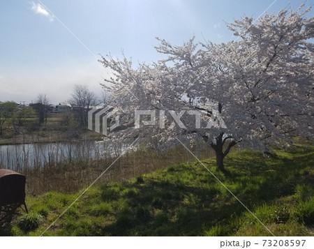 初夏の訪れを待つ川沿いと春を告げる満開の桜 73208597