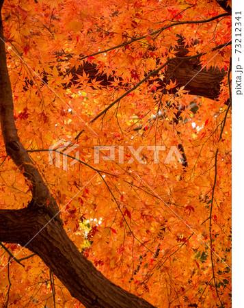 12月木の真下から見た紅葉(縦撮) 73212341