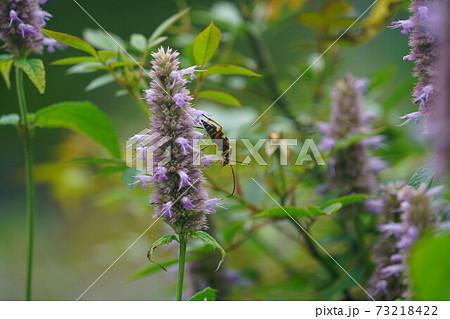 カワミドリの蜜を吸うヨツボシハナカミキリ 73218422
