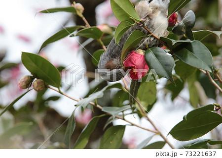 枝にとまりさかさまで椿の花をつつくヒヨドリ 73221637
