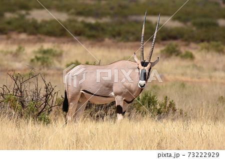 オリックス(サンブル自然保護区、ケニア) 73222929