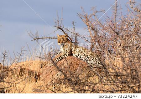 ヒョウ(サンブル自然保護区、ケニア) 73224247