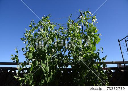 マンションのルーフバルコニー 青空に元気なエンドウ豆 73232739
