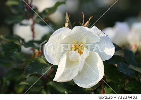 白いバラと水滴 ホワイトノックアウト 73234403